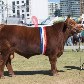 EKKA Junior & Grand Champion Bull - GK 1B Pretty Reckless