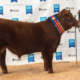 MELBOURNE Junior Champion Bull - WFB MOO Red Panther