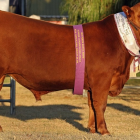 PERTH Junior Champion Male, Grand Champion Male, Supreme Exhibit - Kildarra Prospect P17 (Photo : Farm Weekly)