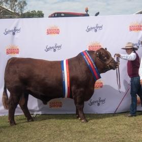 SYDNEY Senior & Grand Champion Bull - Redgums Willy