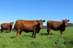 Red Angus 037